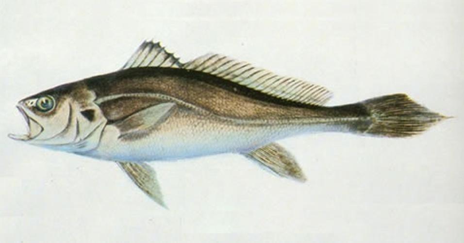 """A espécie """"Bahaba taipingensis"""", da China, está entre as cem espécies mais ameaçadas do planeta. De acordo com a IUCN, o quilo do peixe custa mais do que ouro"""
