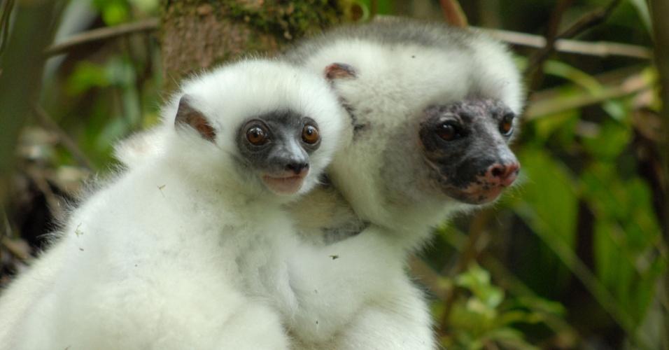Os primatas que habitam as florestas de Madagascar, na África, estão entre os mais vulneráveis, segundo a IUCN. A espécie Propithecus candidus é alvo de caçadores e da diminuição do seu habitat