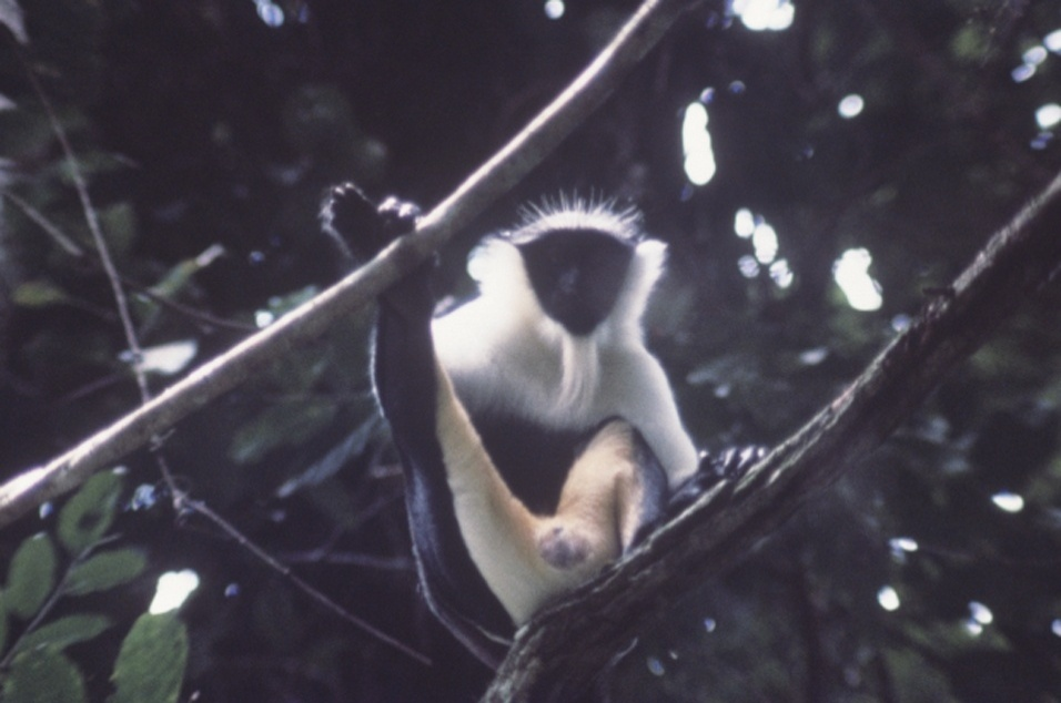 """O relatório dos cem animais mais ameaçados do planeta inclui um macaco (""""Cercopithecus roloway"""") que vive na Costa do Marfim, na África. Os caçadores matam o primata para vender sua carne, diz a IUCN"""
