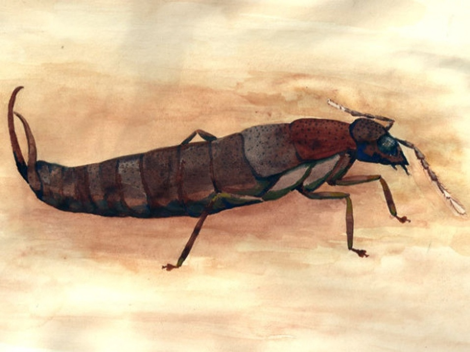 """O aquecimento global e a introdução de espécies invasoras prejudicam a espécie """"Antisolabis seychellensis"""", inseto encontrado nas ilhas Seychelles"""