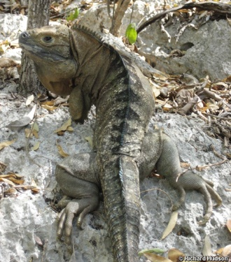 Predadores e destruição do habitat põem em risco a espécie de iguana da Jamaica (Cyclura collei)