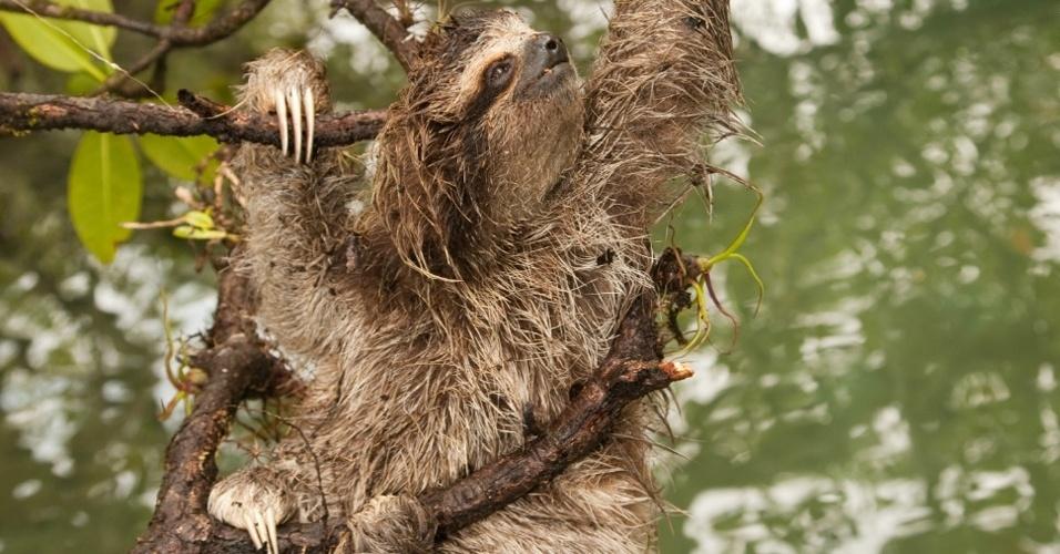 """O bicho-preguiça do Panamá (""""Bradypus pygmaeus"""") está em situação crítica de extinção, afirma o IUCN. Apenas 500 indivíduos vivem na ilha Escudo de veraguas, devido à extração ilegal de madeira"""