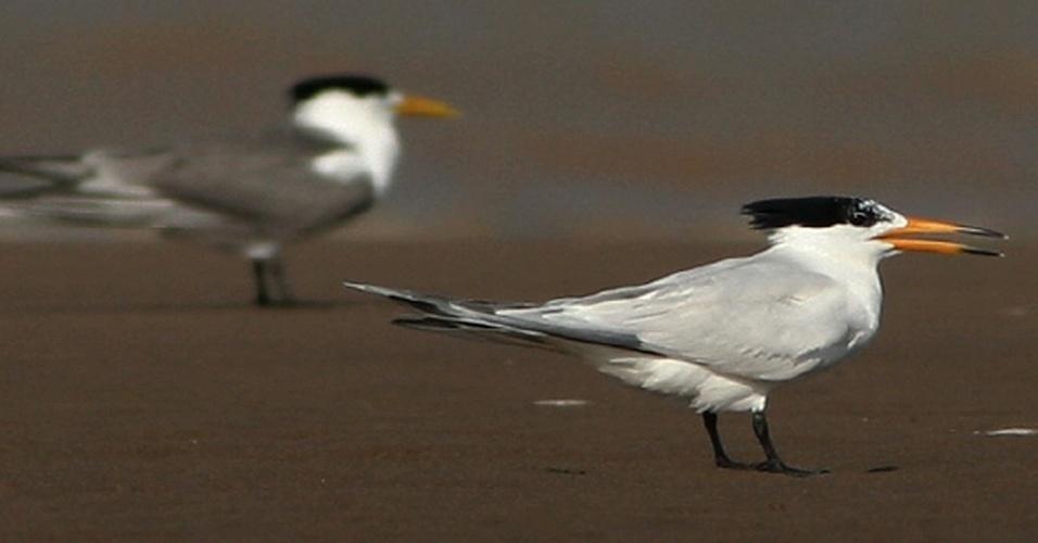 A procura pelos ovos e a destruição dos ninhos da espécie Sterna bernsteini, dificultam a reprodução desta ave migratória. Cerca de 50 adultos podem ser encontrados em países da Ásia, como China, Indonésia e Filipinas