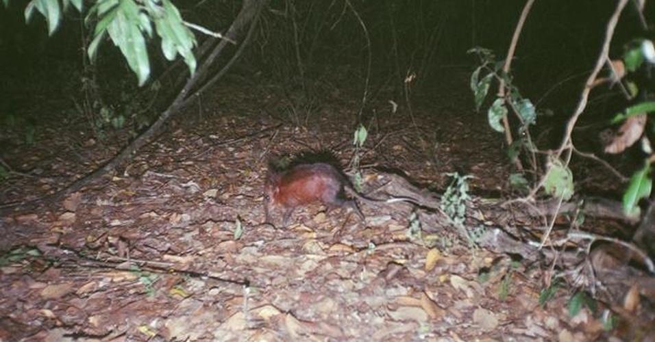 """A """"destruição do habitat devido ao desenvolvimento"""" do Quênia colocou o """"Rhynchocyon sp"""" na lista dos cem animais mais ameaçados de extinção do planeta, segundo relatório do IUCN"""