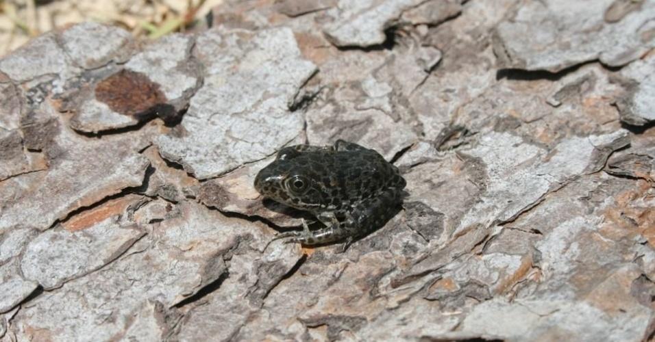 """A espécie """"Lithobates sevosus"""", encontrada nos Estados Unidos, é vítima das mudanças climáticas, que prejudicam seu habitat, e de um fungo fatal para os anfíbios"""