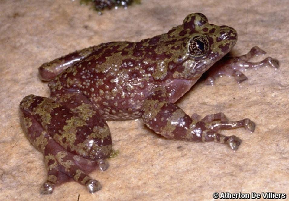A introdução de plantas aquáticas na região onde vive este anfíbio (Heleophryne rosei) ameaçam de extinção este animal da África do Sul