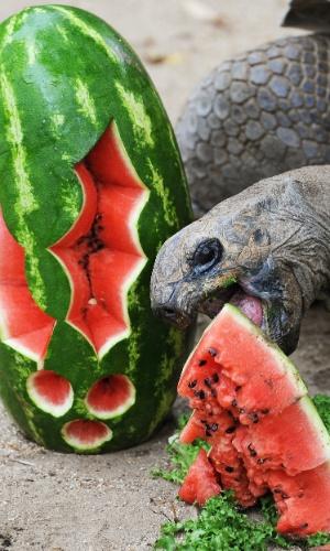 14.dez.2012 - A tartaruga Lance come uma melancia no zoológico Taronga Zoo, em Sydney, na Austrália