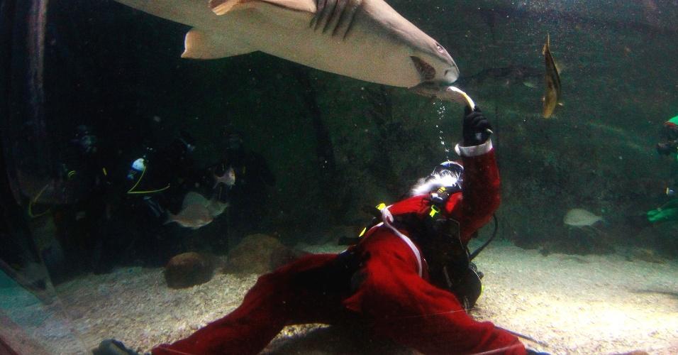 14.dez.2012 - Mergulhador fantasiado de Papai Noel alimenta um tubarão no Manly Sea Life Sanctuary, em Sydney, nesta sexta-feira (14). Os animais do santuário ganharam 'guloseimas' como parte das celebrações de natal