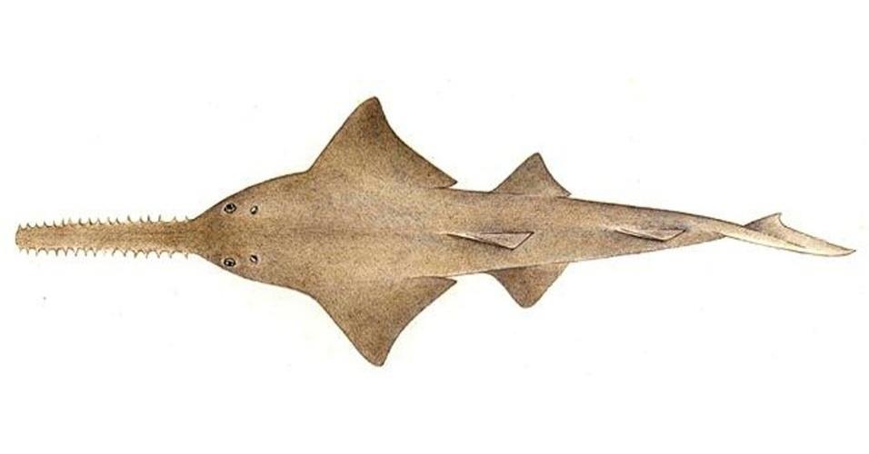 """A exploração e a pesca fizeram com que cerca de 95% dos peixes-espada (""""Pristis pristis"""") desaparecessem das águas do norte da Austrália, de acordo com relatório da IUCN - sua população não é estimada"""