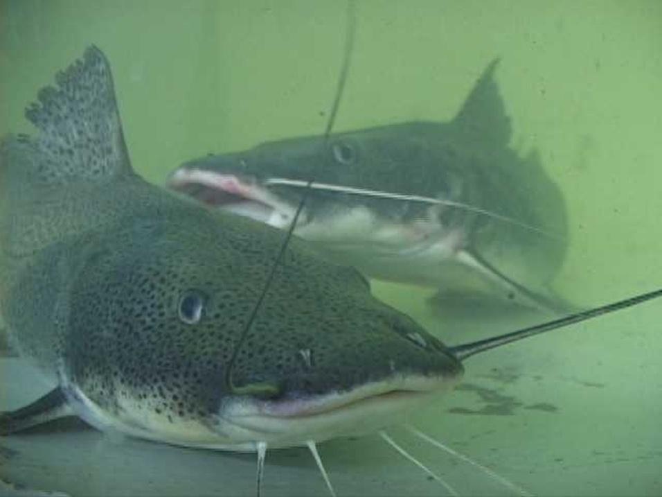 """Surubim-do-paraíba (""""Steindachneridion parahybae"""") é um peixe da Mata Atlântica criticamente em perigo"""