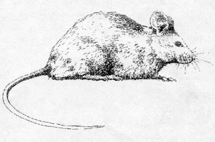 rato-sauiá (Phyllomys unicolor), roedor da Mata Atlântica