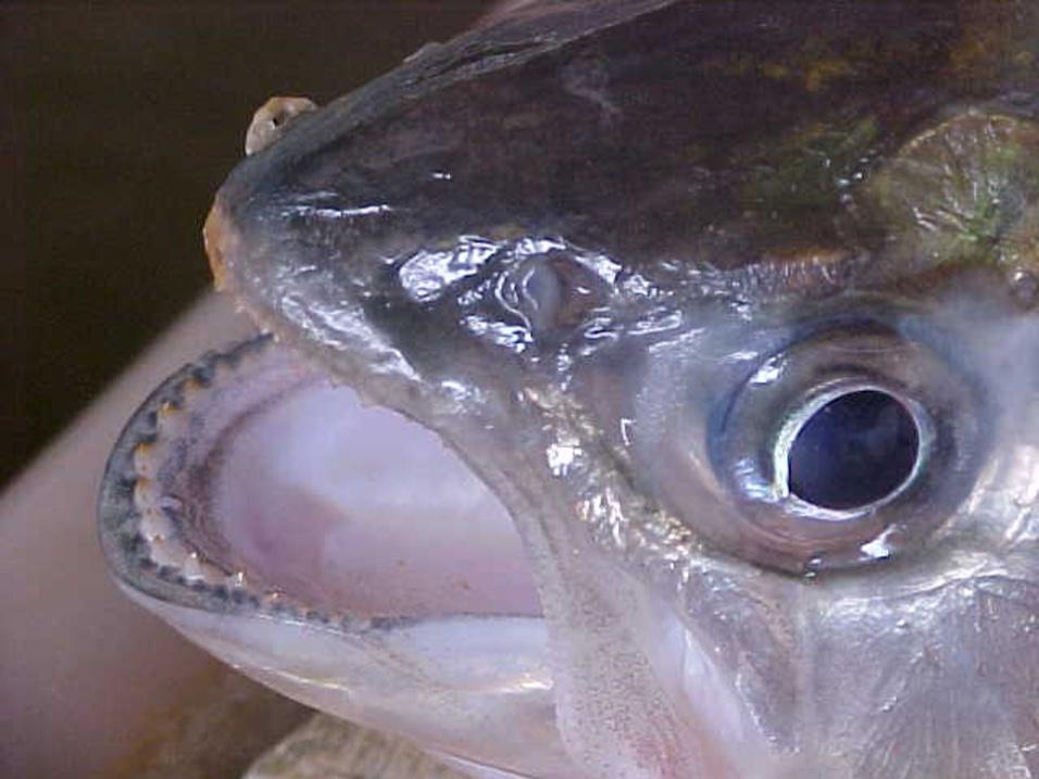"""Piabanha-vermelha (""""Brycon insignis""""), peixe encontrado apenas no bioma da Mata Atlântica"""
