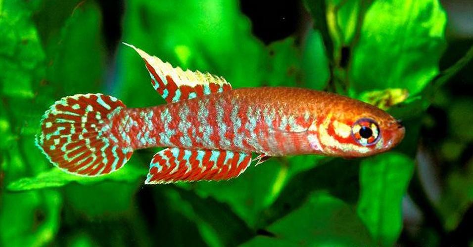 """""""Leptolebias splendens"""", peixe anual da Mata Atlântica, está criticamente em perigo de extinção devido à expansão urbana na Baixada Fluminense e no entorno da baía de Guanabara"""