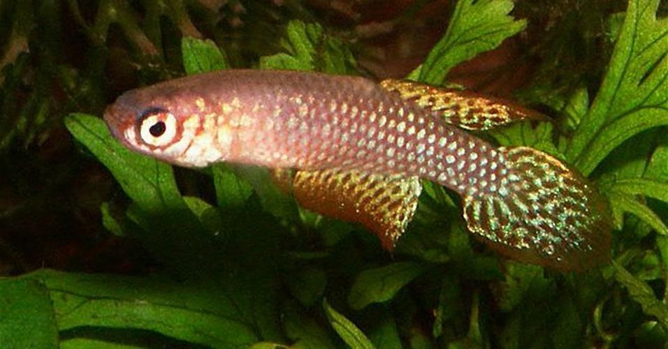 """A principal ameaça para a espécie """"Leptolebias opalescens"""", peixe anual da Mata Atlântica, é a destruição dos ambientes alagáveis devido à expansão urbana do Sudeste"""