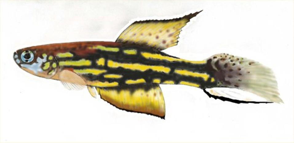 """A ilustração mostra detalhes do """"Leptolebias marmoratus"""", peixe anual da Mata Atlântica"""
