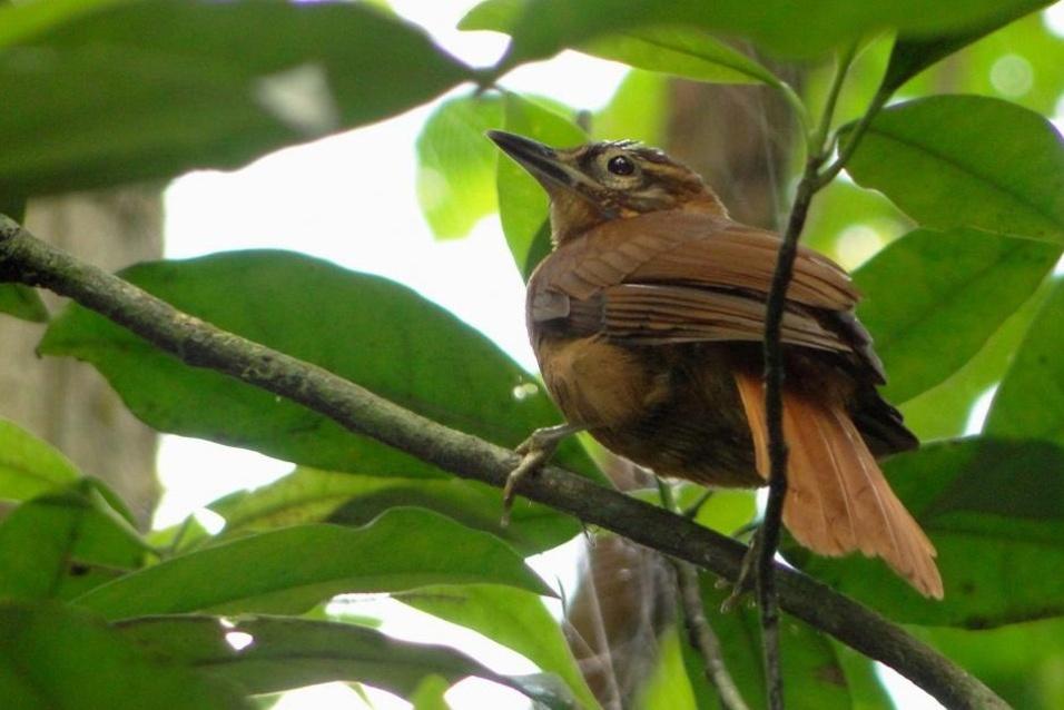 """O desmatamento e a alteração do habitat são as ameaças mais sérias para a conservação do Limpa-folha-do-nordeste (""""Philydor novaesi"""")"""