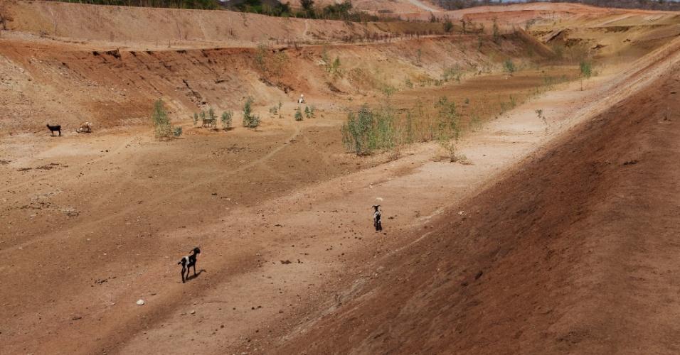 1º.jan.2013- Animais procuram alimentos na obra parada da transposição do rio Sao Francisco no município de Floresta, no sertao pernambucano