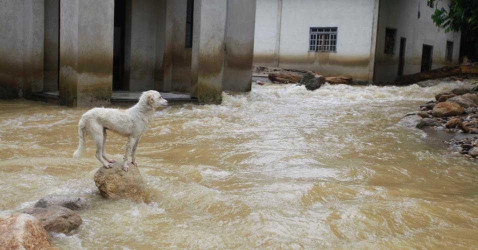 4.jan.2013 - Cachorro tenta atravessar enxurrada, após fortes chuvas em Caputera, Angra dos Reis (RJ). Moradores da comunidade ficaram isolados após o transbordamento do rio Caputera na tarde de quinta-feira (3)