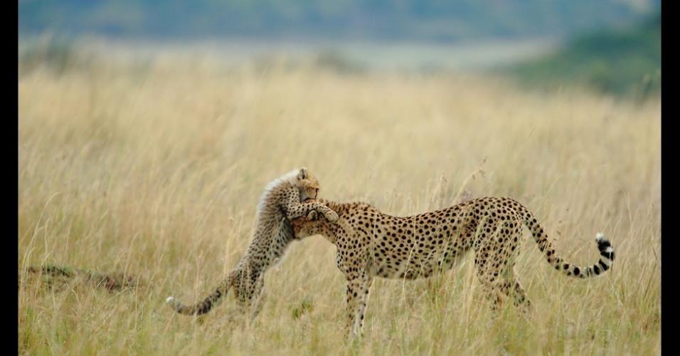 8.jan.2013- Já na categoria natureza, os leitores da revista optaram por ''Momento de Ternura'', de Sanjeev Bhor, que disse ter tido muita sorte ao clicar Malaika, uma fêmea de guepardo, e seu filhote