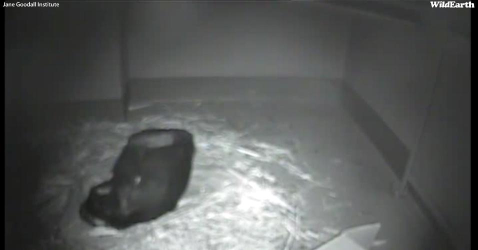 15.jan.2013 - O Instituto Jane Goodall na África do Sul, um conhecido santuário de primatas, anunciou que vai transmitir ao vivo o parto de uma chimpanzé de nove anos que foi salva de caçadores em 2007. A fêmea Nina, que deve dar à luz nos próximos dias, será uma mãe muito jovem - chimpanzés, geralmente, se reproduzem aos 15 anos