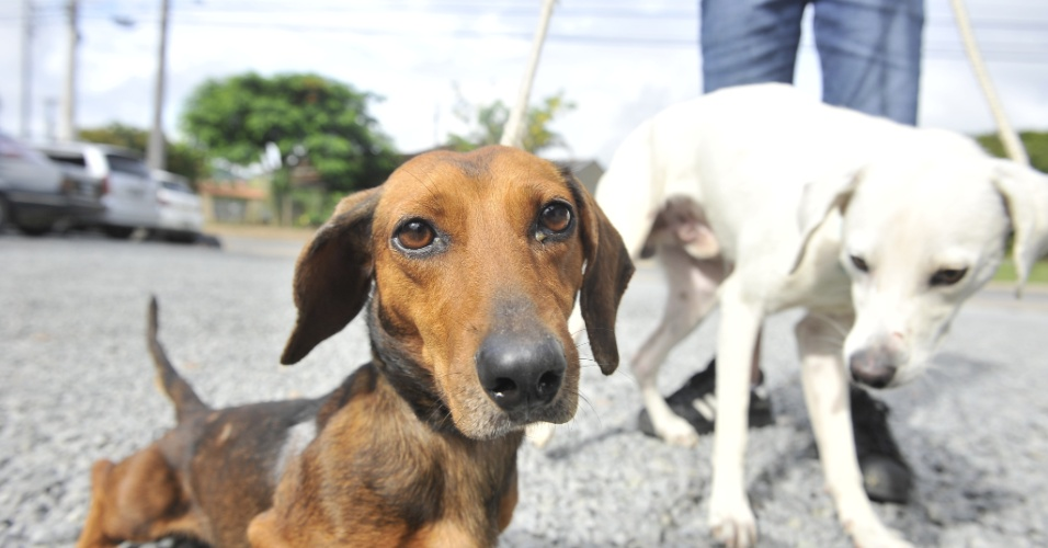 16.jan.2013 - C&#227;es abandonados por fam&#237;lia em Santa Catarina se recuperam. A fam&#237;lia teria sa&#237;do de f&#233;rias no Natal e deixado os c&#227;es no terreno sem &#225;gua e comida suficiente em Schroeder, no norte de Santa Catarina. Os animais foram recolhidos pela Ajapra (Associa&#231;&#227;o Jaraguaense Protetora dos Animais) ap&#243;s den&#250;ncia. Bastante desnutridos, eles est&#227;o recebendo tratamento &#224; base de vitaminas no Consult&#243;rio Veterin&#225;rio Amizade, em Jaragu&#225; do Sul, e devem ficar dispon&#237;veis para ado&#231;&#227;o assim que ganharem peso