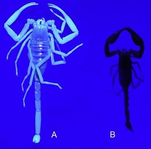 """17.jan.2013 - Cientistas descobriram que nem todos os escorpiões apresentam uma luz azul esverdeada  quando expostos à luz ultravioleta. Os escorpiões são conhecidos por serem """"fluorescentes"""", mas um novo estudo publicado no final de 2012 mostra pelo menos uma espécie (à direita na imagem) que não possui a habilidade. Wilson Lourenço, do Museu de História Natural de Paris, testou a capacidade de quatro novas espécies que viviam em cavernas (à esquerda) e as comparou com a """"Chaerilus telnovi"""", que não brilhou sob a luz UV. Outros testes com a família Chaerilidae mostraram que elas também não eram fluorescentes. Ainda não se sabe por que os escorpiões possuem esta habilidade"""