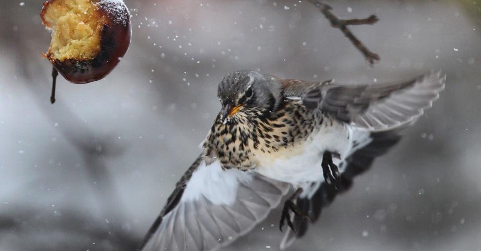 17.jan.2013 - Pássaro voa para comer maçã, em Kaufbeuren, Alemanha