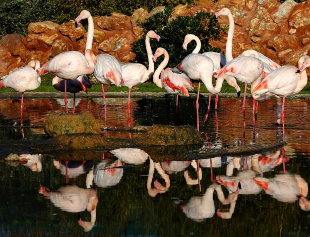 19.jan.2013 - Flamingos se juntam em lagoa em zoológico perto de Atenas, na Grécia