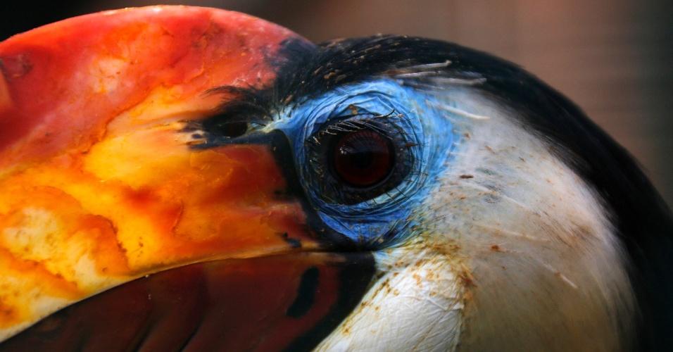 """19.jan.2013 - Pássaro conhecido como """"Aceros corrugatus"""" é visto no zoológico de Attica, perto de Atenas, na Grécia. A espécie é encontrada na Ásia, seu habitat natural"""