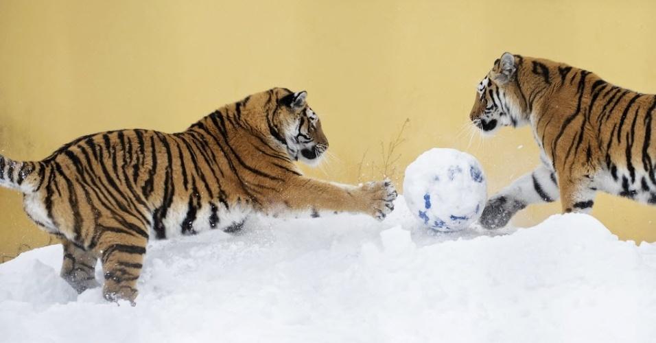 22.jan.2013 - Em foto de sábado (18), divulgada nesta terça-feira (22), tigres siberianos brincam com uma bola na neve do zoológico Schoenbrunn, em Viena, na Áustria, após uma forte nevasca