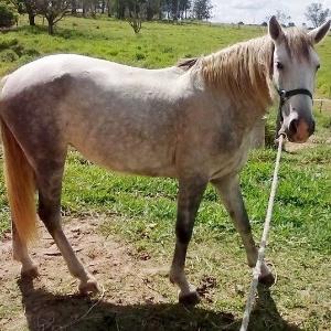 Égua Brisa, que foi roubada de uma escola de equitação, em Campinas (SP)