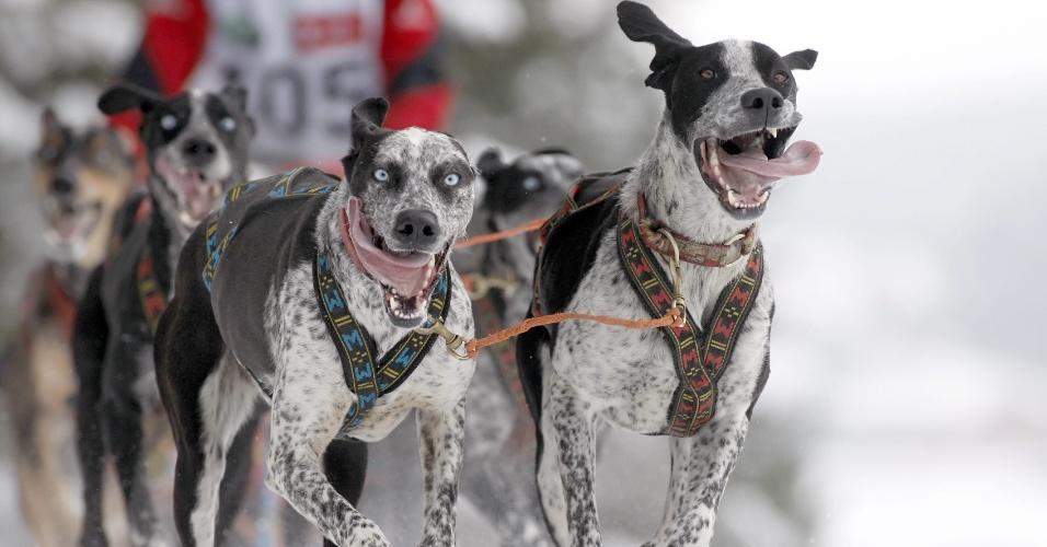 26.jan.2013 - Cães puxam trenó durante corrida internacional canina, na aldeia de Raubichi, cerca de 20 km de Minsk, em Belarus