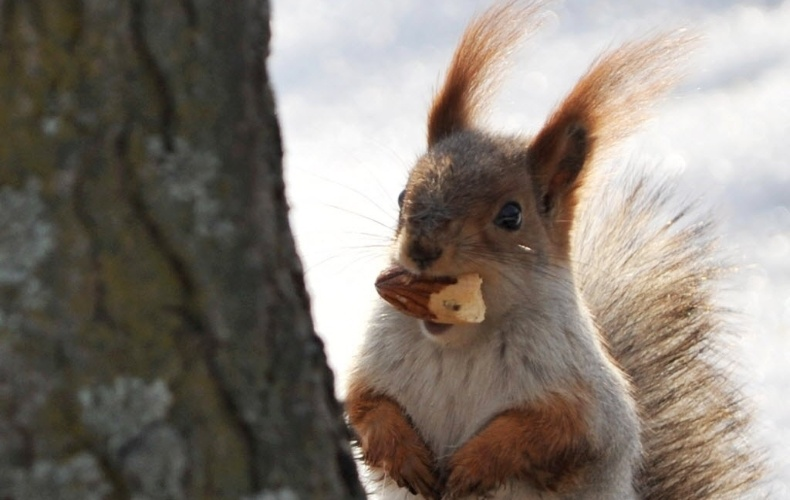 28.jan.2013 - Esquilo mastiga espiga de milho em parque de Bishkek, capital do Quirguistão