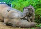 Greve de fome e silêncio: também existe tristeza e luto no reino animal (Foto: Sabah Wildlife Department/Reuters)