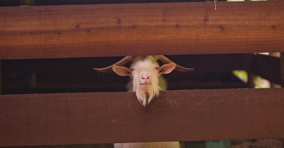 1º.fev.2013 - No presídio os detentos também criam bodes e cabras