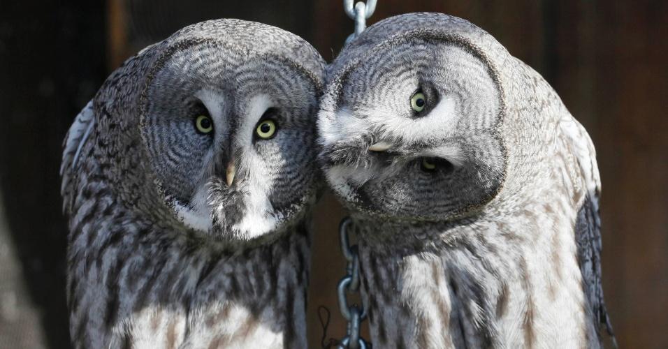 4.fev.2013 - Estudo da Universidade Johns Hopkins, em Baltimore, nos Estados Unidos, descobriu como as corujas giram quase toda a cabeça (270 graus) sem danificar os vasos sanguíneos do pescoço nem  interromper o fornecimento de sangue para o cérebro. As aves têm vasos sanguíneos que se ampliam, como uma represa, e acumulam sangue para garantir energia para irrigar o cérebro e os olhos enquanto giram a cabeça