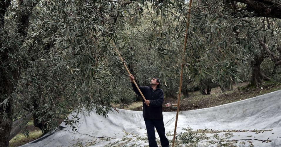 7.fev.2013 - Equipe internacional de cientistas usou dados genéticos, datação molecular, registros de fósseis e modelagem climática para determinar que as oliveiras têm raízes curdas, no território entre a Síria e a Turquia, ao norte e ao leste do que muitos haviam pensado