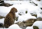 Leopardo-de-Amur é espécie protegida que mais cresceu em 2013, diz WWF (Foto: Sebastien Bozon/AFP)