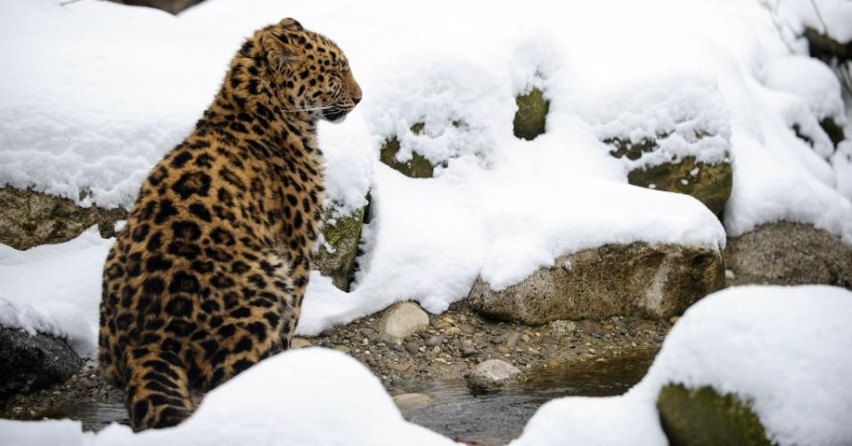 12.fev.2013 - Um leopardo de Amur caminha pela neve que cobre parte do zoológico de Mulhouse, na França. O animal é considerado o felino mais ameaçado do mundo