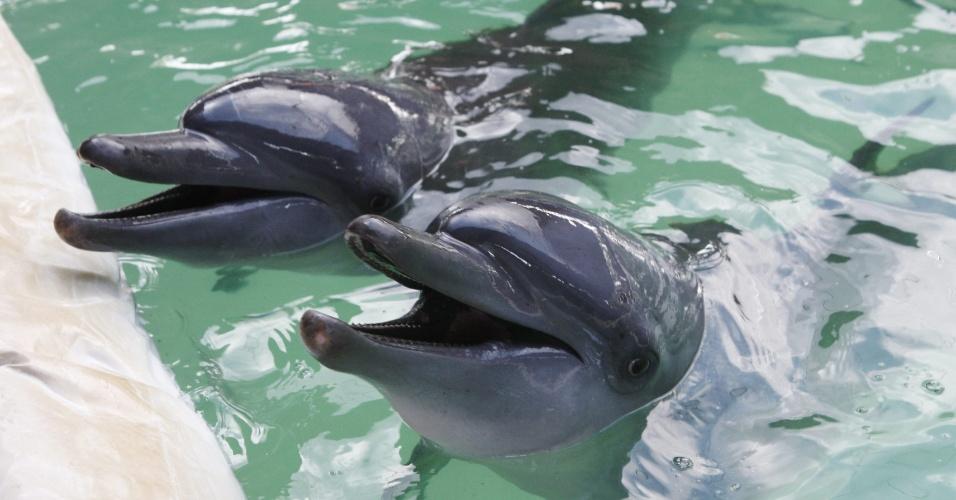 13.fev.2013 - Dois golfinhos nadam na piscina do restaurante Akame em Bali, na Indonésia. Ativistas de grupos de defesa dos animais pediram aos donos do estabelecimento que liberem os dois mamíferos