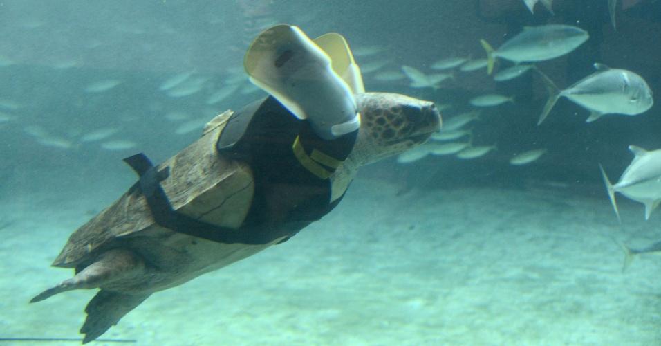 13.fev.2013 - Uma tartaruga marinha ganhou um par de nadadeiras artificiais em um aquário de Kobe, no Japão. Ela foi encontrada em 2008 por pescadores, já sem as nadadeiras - acredita-se que ela tenha perdido os membros em um ataque de tubarão