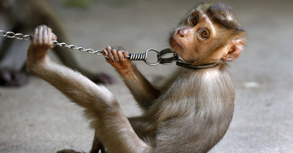 19.fev.2013 - Macaco participa de espetáculo para turistas coletando cocos em Surat Thani, no sul da Tailândia