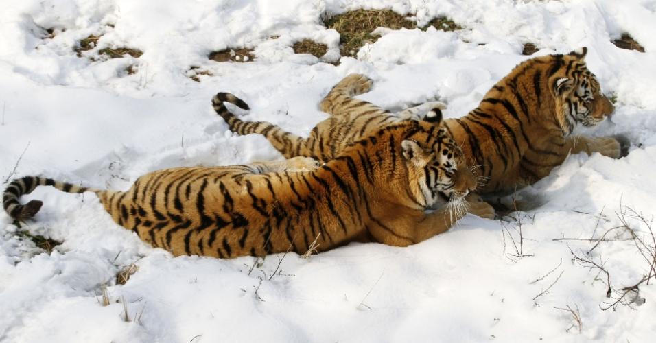 20.fev.2013 - Tigres siberianos brincam em chão coberto por neve no zoológico de Nanjing, na China. No mundo todo, existem menos de 530 tigres siberianos vivendo na natureza
