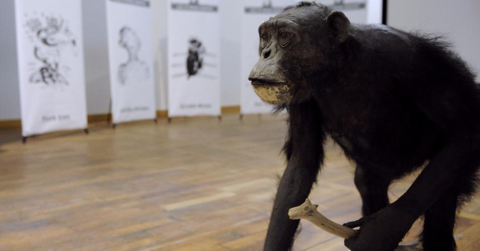 21.fev.2013 - Um ano após sua morte, Jojo, o chimpanzé mais velho da Europa, é exposto no museu Museum-Aquarium em Nancy, na França. O animal morreu aos 60 anos, em 2012