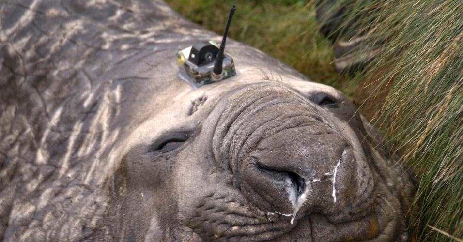 26.fev.2013 - Sensor é colocado na cabeça de elefantes marinhos na Antártida para entender melhor como são as águas mais frias e profundas da região e sua influência no clima global. Eles vão em locais que não seria possível ir, como cânions, dizem cientistas do CRC Clima e Ecossistema Antártico na Tasmânia. O sensor pesa de 100 a 200 gramas e tem um pequeno satélite que transmite dados diariamente