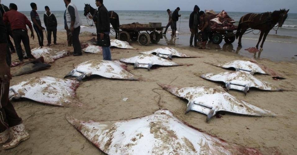 27.fev.2013 - Pescadores palestinos coletam arraias levadas pelo mar até a praia da Cidade de Gaza, nesta quarta-feira (27)