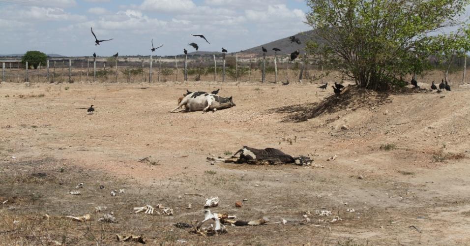 27.fev.2013 - Urubus rondam carcaças de animais mortos às margens da BR-232, na altura da cidade de Pesqueira, em Pernambuco, durante a seca que assola a região