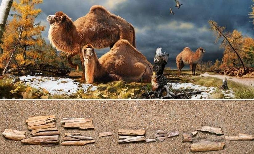 05.fev.2013 - Fragmento de osso encontrado no Canadá revela que a região tinha camelos gigantes, até 30% maiores do que os atuais, e que viviam no Ártico há 3,5 milhões de anos