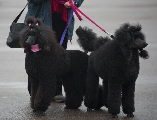 8.mar.2013 - Dono leva seus poodles para participar do segundo dia de exposição de cães em Birmingham, no Reino Unido