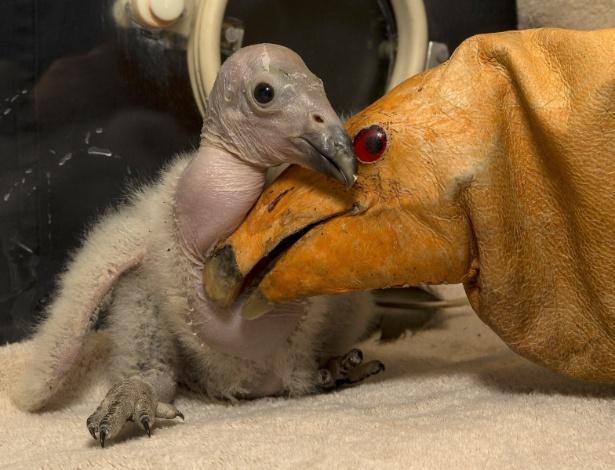 11.mar.2013 - O filhote de condor de duas semanas de vida Wese (à esq.) brinca com um pássaro de brinquedo no zoológico de San Diego, no Estado da Califórnia (EUA). O filhote, que será solto na natureza no futuro, está saudável e come em média 15 ratos por dia, segundo funcionários do zoológico